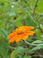 A close up of a Mexican Sunflower - PhotoDune Item for Sale
