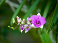 pink purple dendrobium orchid flower - PhotoDune Item for Sale