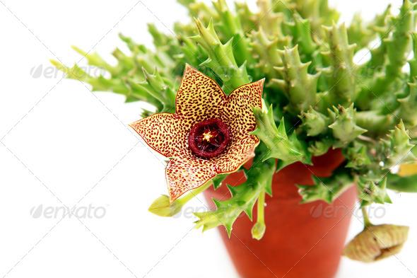PhotoDune Stapelia flower 4102065