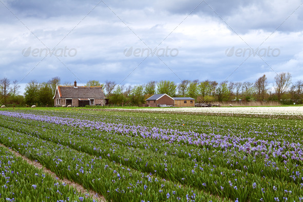 PhotoDune Dutch farm of hyacinths 4102184