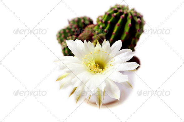 PhotoDune cactus blossoming 4102283