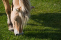 Fjord Horse eating grass - PhotoDune Item for Sale