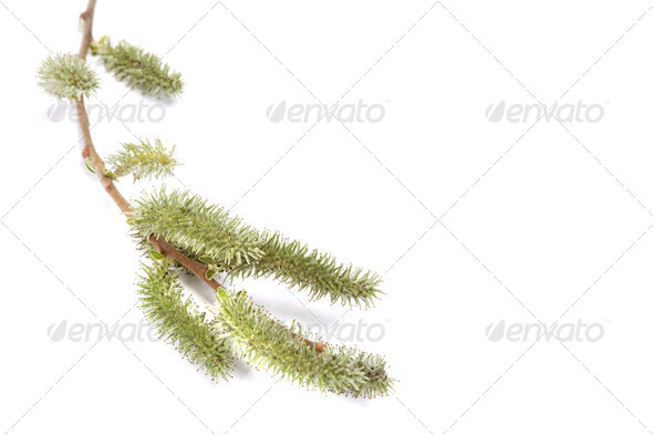 PhotoDune Willow branch in bloom isolated on white background 4049258