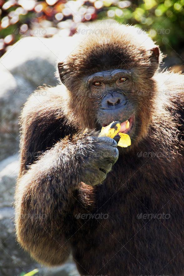 PhotoDune Big Monkey 4049464
