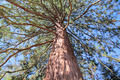 Redwood tree - PhotoDune Item for Sale