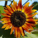 Orange Sunflower 2 - VideoHive Item for Sale