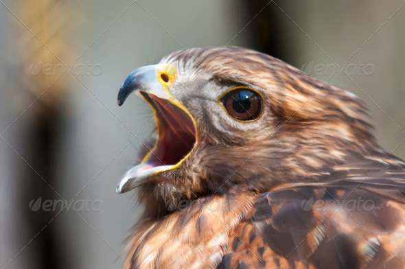 hawk falcon raptor bird - Stock Photo - Images