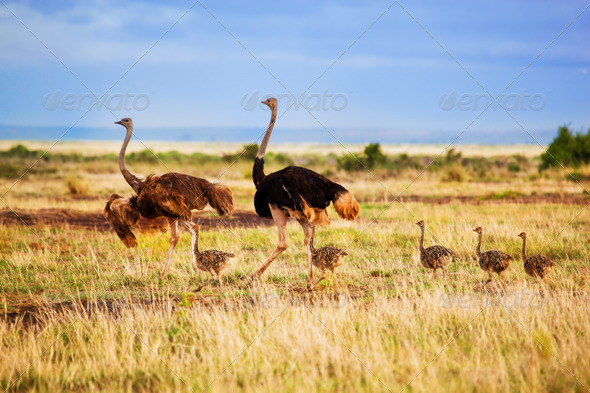 Ostrich family on savanna, Amboseli, Kenya - Stock Photo - Images