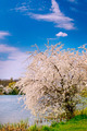 Blooming tree and nice lake  by springtime. - PhotoDune Item for Sale
