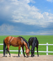 Two Horses Walk on manege - PhotoDune Item for Sale