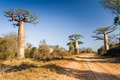 Baobab tree, Madagascar - PhotoDune Item for Sale