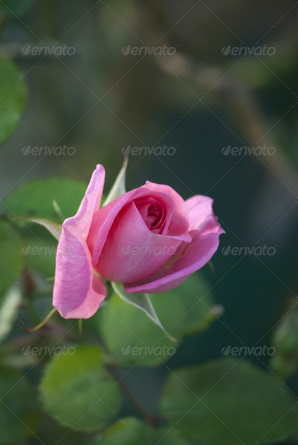 Pink Rose - Stock Photo - Images