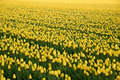 Field with yellow tulips - PhotoDune Item for Sale