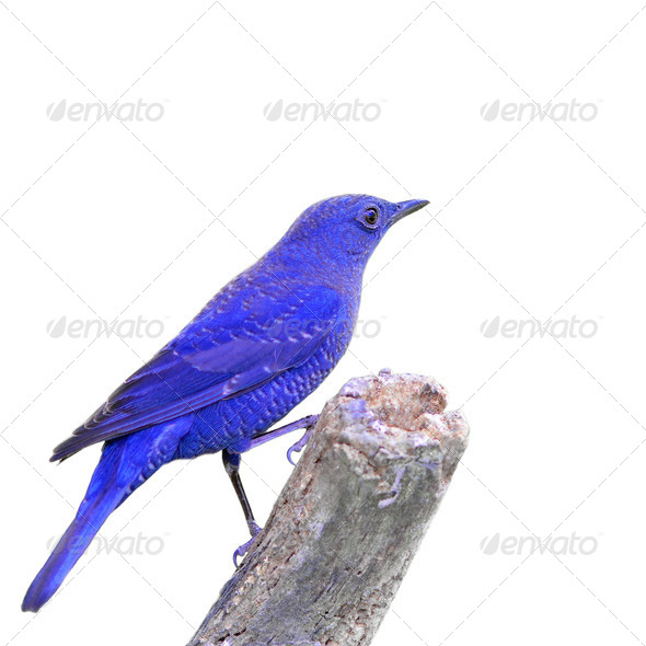 PhotoDune Blue Bird 4082164