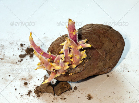 PhotoDune Potato sprouts 4082488