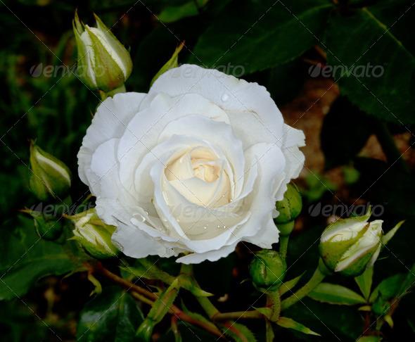 PhotoDune White flower 4082497