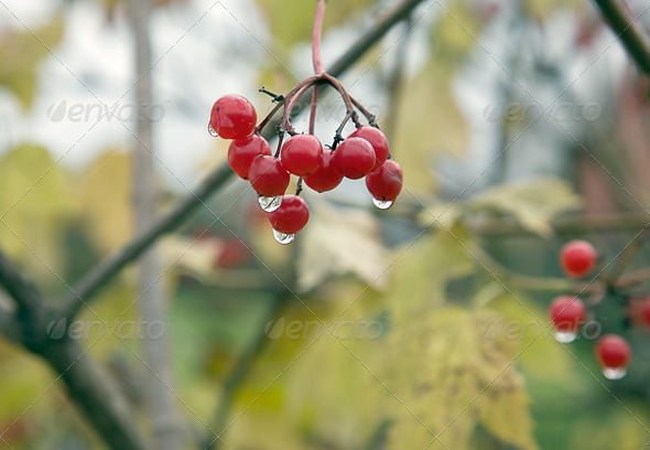 PhotoDune Guelder-rose red Autumn 4082498