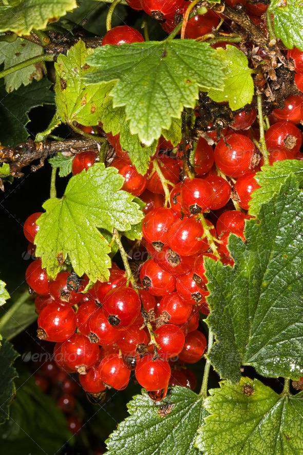 PhotoDune Red currant 4082532