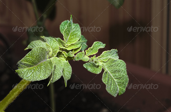 PhotoDune Potato sprouts 4082683