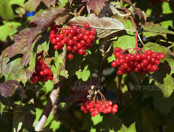 PhotoDune Red guelder-rose 4082685