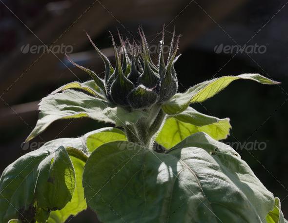 PhotoDune Sunflower autumn 4082702