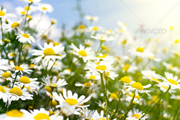 PhotoDune white daisies in sunlight in the sky 4082853