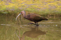 White-faced Ibis - PhotoDune Item for Sale