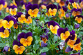 Violas - PhotoDune Item for Sale