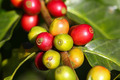 Coffee tree with ripe berries on farm - PhotoDune Item for Sale