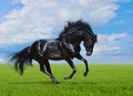 Black Horse Gallops on green field - PhotoDune Item for Sale