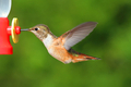 Rufous Hummingbird In Flight - PhotoDune Item for Sale