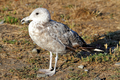 California Gull - PhotoDune Item for Sale