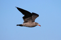 Heermann&amp;#x27;s Gull - PhotoDune Item for Sale