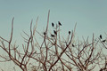 Group of crows sitting on the bare branches of a tree - PhotoDune Item for Sale