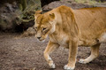 Lioness - PhotoDune Item for Sale
