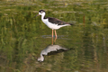 Black-necked Stilt - PhotoDune Item for Sale