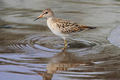 Pectoral Sandpiper - PhotoDune Item for Sale
