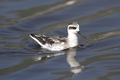 Red-necked Phalarope - PhotoDune Item for Sale