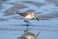 Western Sandpiper - PhotoDune Item for Sale
