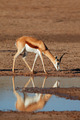 Springbok antelope - PhotoDune Item for Sale