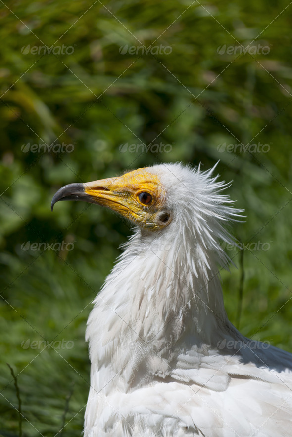 Egyptian Vulture - Stock Photo - Images