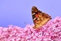 Painted Lady on Lilac flower - PhotoDune Item for Sale