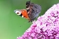 peacock butterfly on Lilac flower - PhotoDune Item for Sale