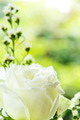 Close up of white rose - PhotoDune Item for Sale