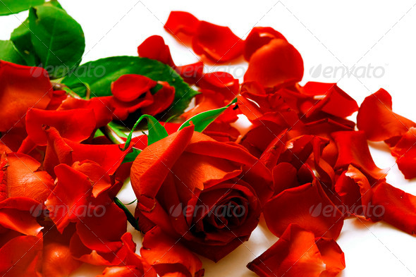 PhotoDune Bright red rose and petals on a white background 4141355