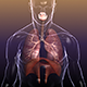 Respiratory System: Lungs in a Human Body - 3DOcean Item for Sale