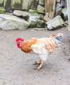 Tense Cock/Chicken - PhotoDune Item for Sale