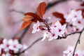 Japanese cherry blossoms - PhotoDune Item for Sale