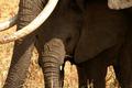 Elephant Baby Hiding Underneath Mom - PhotoDune Item for Sale