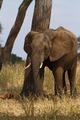 Elephant Scratching POst - PhotoDune Item for Sale
